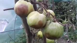 Choroby pomidorów #zaraza ziemniaczana
