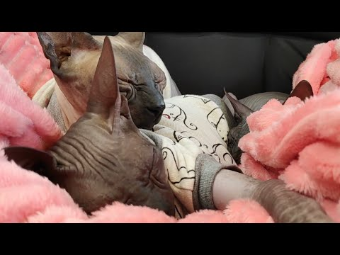 Cute Sphynx cats napping / DonSphynx