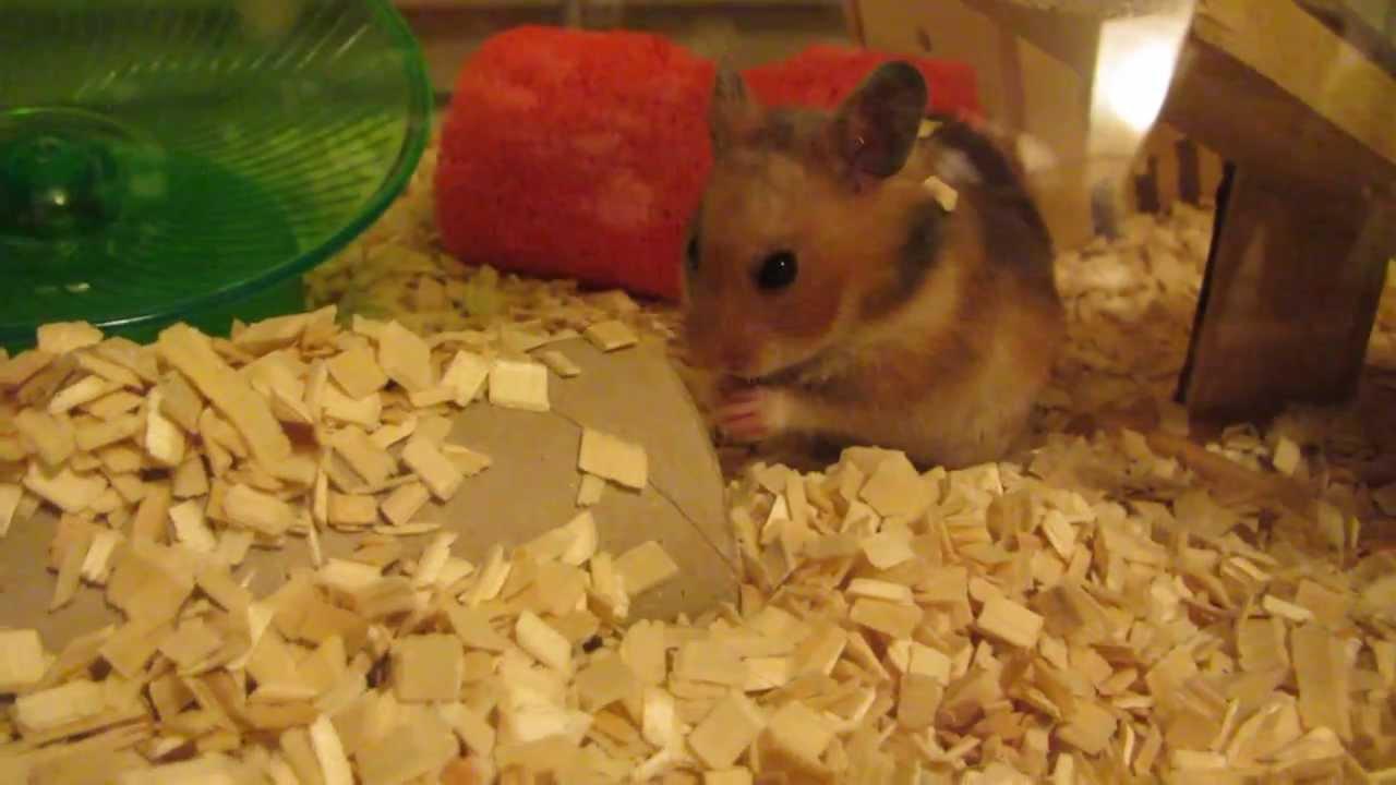 Baby Hamster Burrowing In Ikea Detolf Youtube