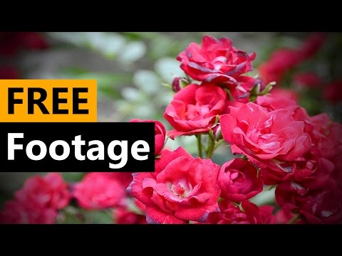 Red Roses Flowers Compilation - FREE Stock Video Footage [Download Full HD]