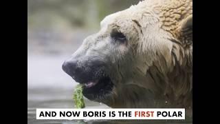 Boris the Polar Bear Receives Stem Cell Therapy from Colorado State Veterinarian
