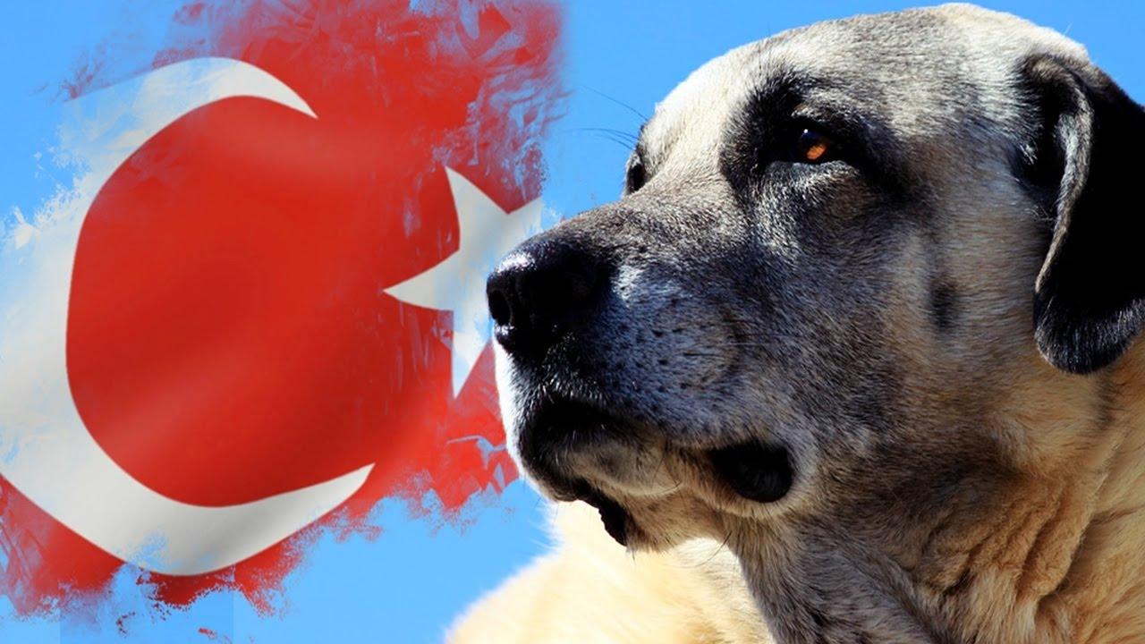 'Sivas Kangal köpeğinin İtalya'ya satılmasından gurur duyarız'