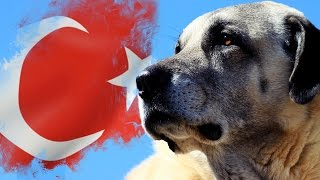 Türkiye'nin En Ünlü 10 Köpek Irkı