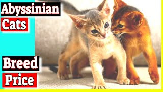 Abyssinian Cats  How much are Abyssinian cats?