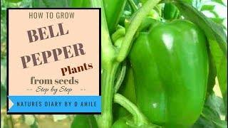 How to germinate bell pepper/ capsicum seeds in english /hindi बिज से शिमला मिर्च उगाये