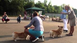 Corgis In Nightingale Land - 2013 / Best Veteran In Breed Competition