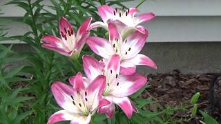 Mid June flower garden tour