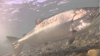 Wild Salmon Run: March 2013