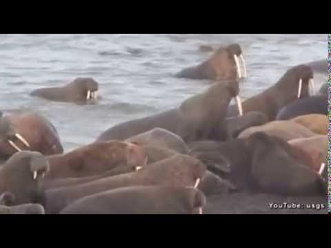 Amazing video of walrus island in the Chukchi Sea..dnt miss it..