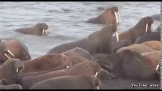 Amazing video of walrus island in the Chukchi Sea..dnt miss it..