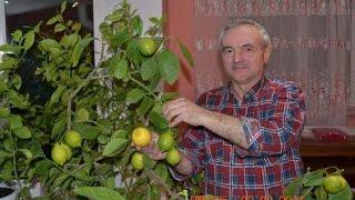 видео Саженцы граната - купить недорого в Одессе, Киеве, Украине в интернет-магазине Agro-Market