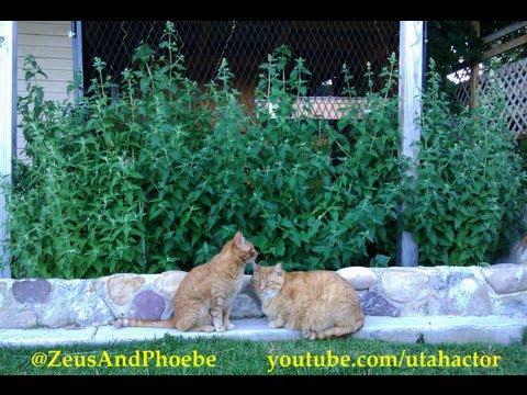 Котовник кошачий — Википедия