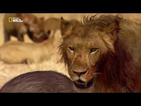 Nat Geo Wild...Львицы- душераздирающая драма(начиная с 30 мин и смотря дальше,будет шок и слезы.