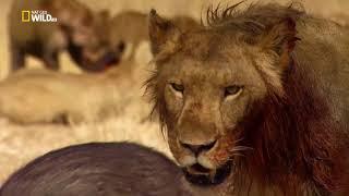 Львицы- душераздирающая драма(с 30 мин).Такая же,драма,как у людей,в противостоянии с друг другом.