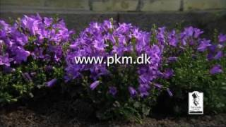 Campanula from FAIRYTALE FLOWERS®