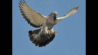 Turkse takla duiven / БОЙНЫЕ ГОЛУБИ ТАКЛА (Sergey Ivanov , г. Бийск (Алтайский край), Россия
