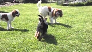 Cavalier & Yorkshire Terrier Boarding