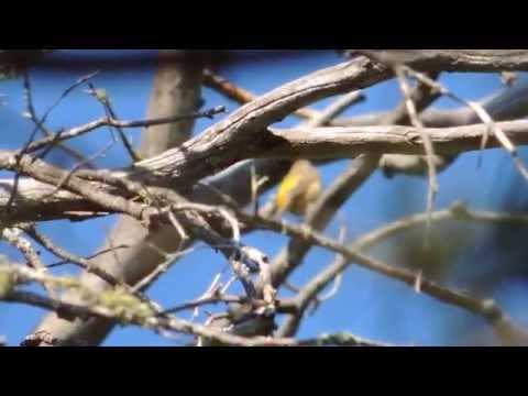 Colima Warbler (Oreothlypis crissalis) Singing Calling Preening Colima Trail