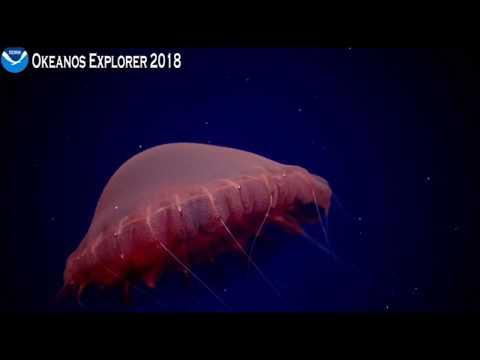NOAA April 19 - Stunning Poralia jellyfish!