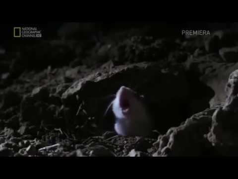 Mouse screaming at moon