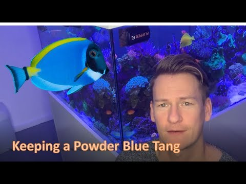 Keeping A Powder Blue Tang