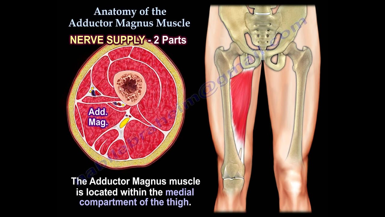 Anatomy Of The Adductor Magnus Muscle - Everything You Need To Know ...