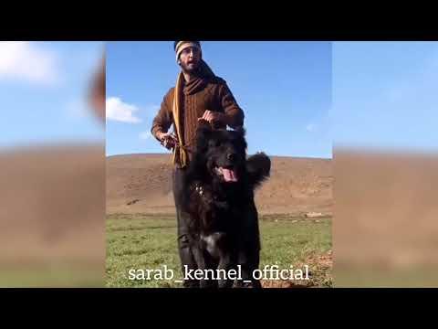 ✔️ Iranian mastiff called Sarabi   aggressive dog breed   Read the description for contact