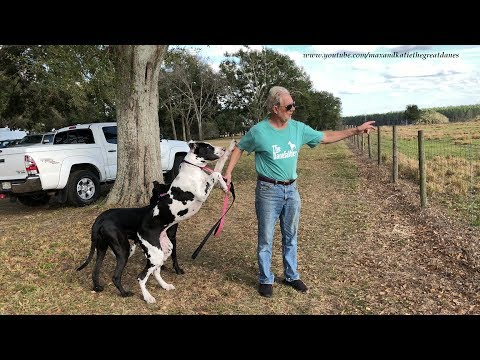 Great Dane and Puppy See Their First Cows