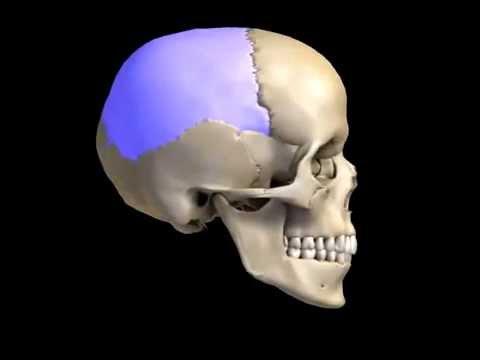 Human Skeletal System - Skull