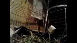 Спаривание морских свинок, смотреть!(Максим делает малышей Пуне))), 2013-12-01T09:51:52.000Z)