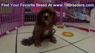 Cavalier King Charles Spaniel, Puppies, For, Sale, In, Lexington, County, Kentucky, Ky, Bowling Gree