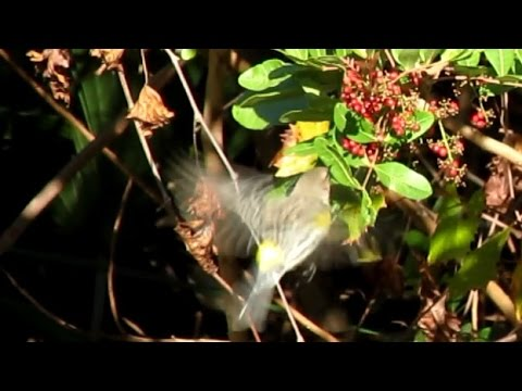 Yellow Rumped Warbler Eating Brazilian Peppers Berries