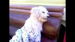 French Poodle Funny Joke | Moitostv