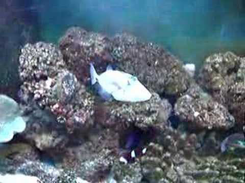 Humu Humu Trigger Fish And Some Tangs