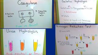 Gelatin, Coagulase, Urea, and Nitrate