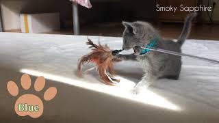 Feder-Spielzeit für Kitten|Verspielte Ruṡṡiṡch BĮau Kätzchen| các bé mèo Nġa mắt xąnh tİnh nghịch