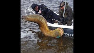 Рыбалка в Астрахани Гигантский сом 87 кг