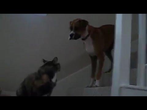 Big Dog Is Afraid of Cat