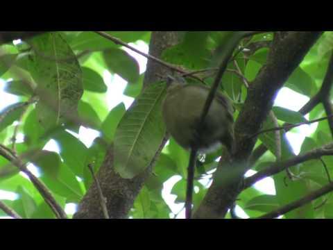 Birds Of Brazil - Tanagers,Trogons, Puffbirds, Manakins, Sharpbills