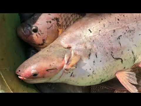 Unbelievable Cast Net Fishing Giant Piranha & River Monsters