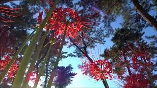 ヒガンバナがあちこちに咲きだしたので利根サイの玉村のヒガンバナを見...