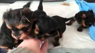 Yorkshire Terrier, Ninhada De Yorkshire Terrier, Chanel Bridget