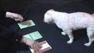 SWEETIE THE SMARTEST DOG KNOWS LETTERSMALTESE!!!