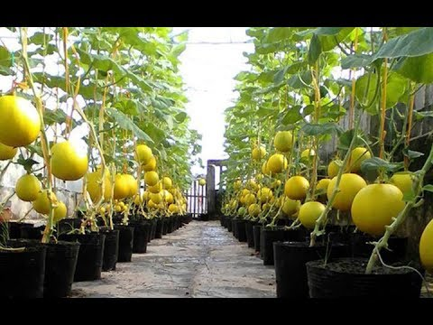 WOW! Most Amazing Fruits & Vegetables Farming Technique