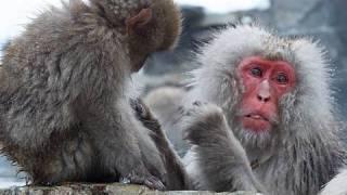 長野県山ノ内町の地獄谷温泉にある「地獄谷野猿公苑」では、温泉に入る...