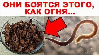 ПАРАЗИТЫ живут в КАЖДОМ! Лучшее средство от паразитов (глистов) в организме человека от природы