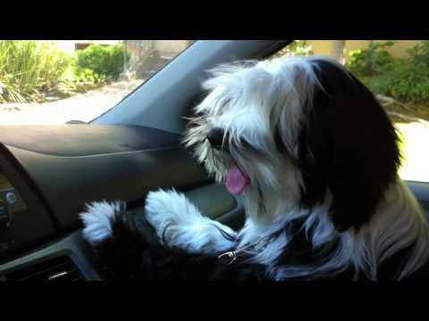 TIbetan Terrier Likes A/C