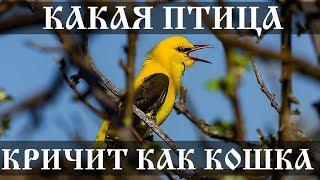 Какая птица кричит как кошка?