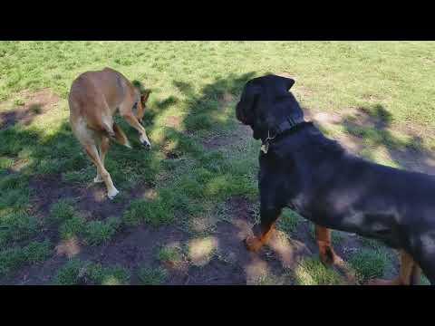 MACHO PLAYING AT THE DOG PARK