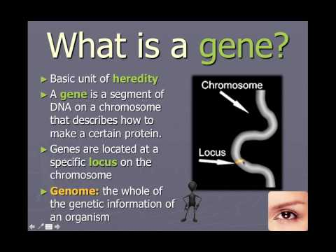 Chromosomes, genes, and alleles (IB Biology)